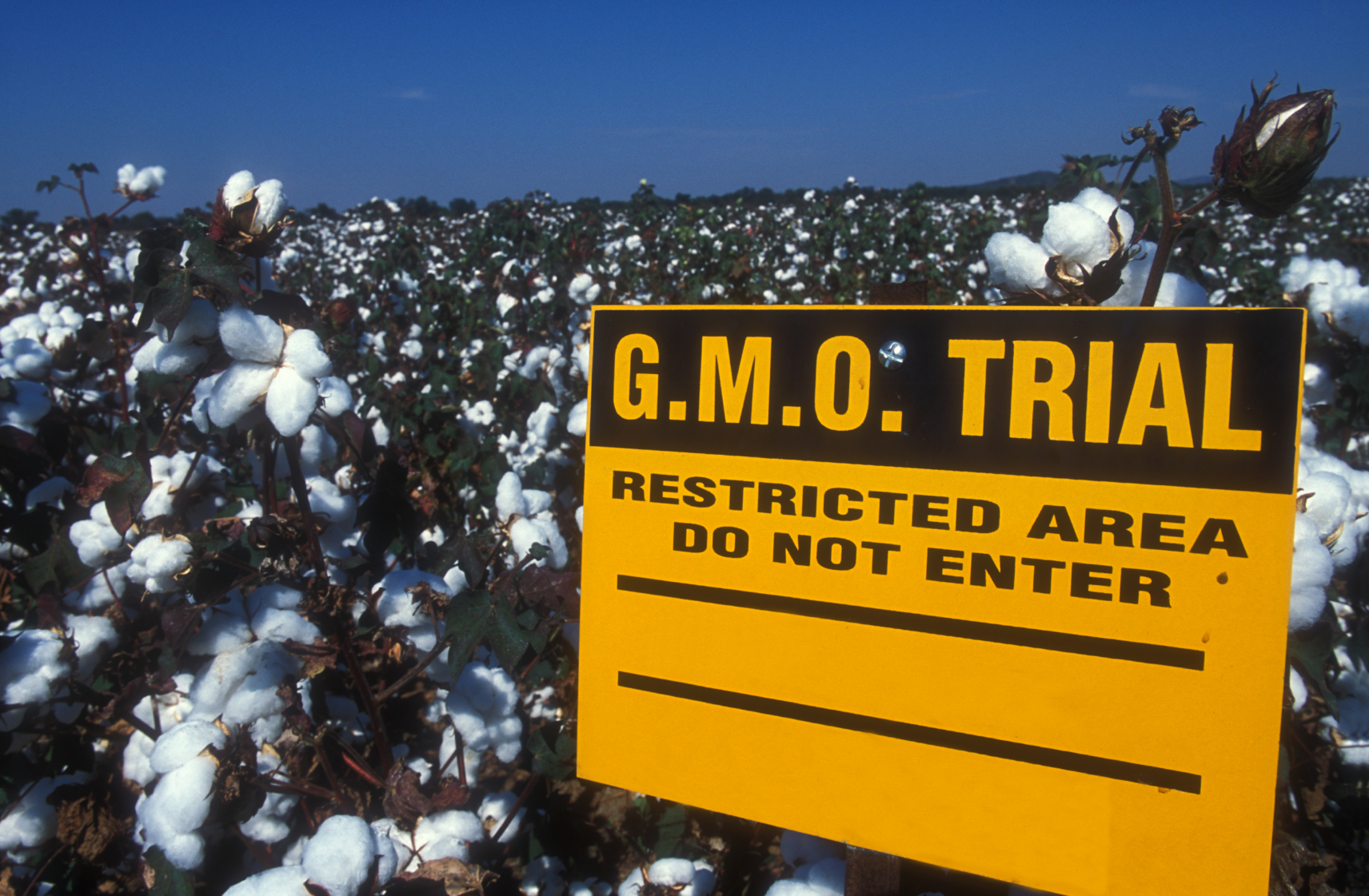 genetically mutated cotton